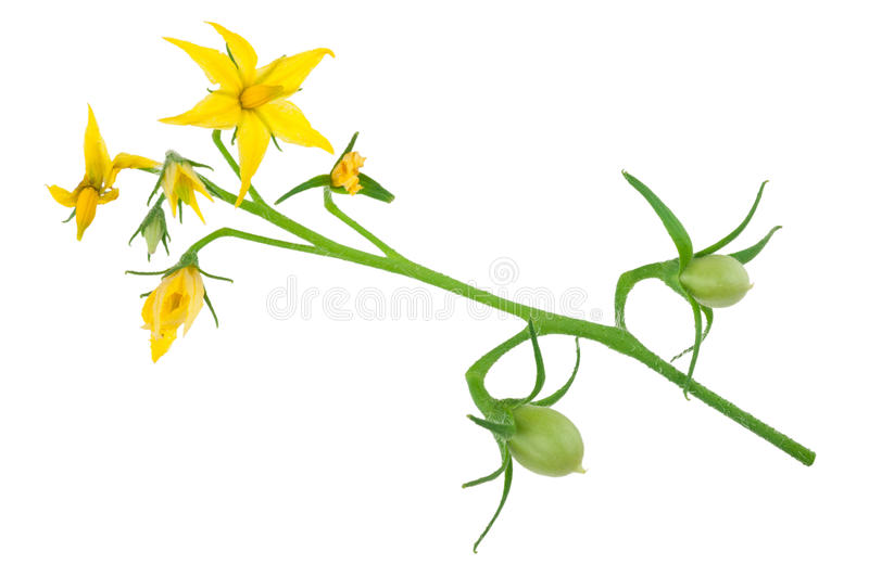 Tomato plant flower. On white background royalty free stock photo
