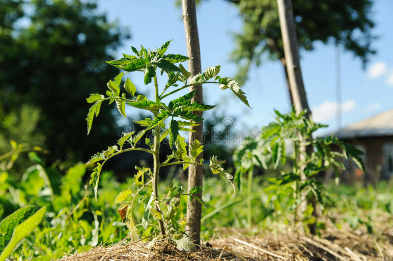 Tomato plant in garden. Tomato plant is growing in an organic garden stock photo