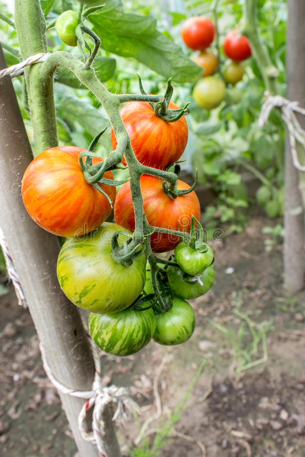 Tomato plant. With green and red fruits royalty free stock images
