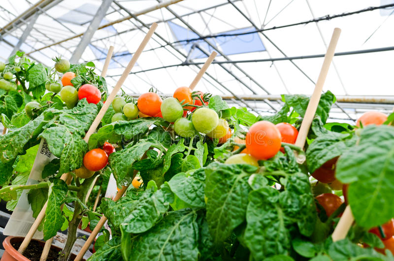 Tomato plant. In greenhouse or gardening center royalty free stock photos