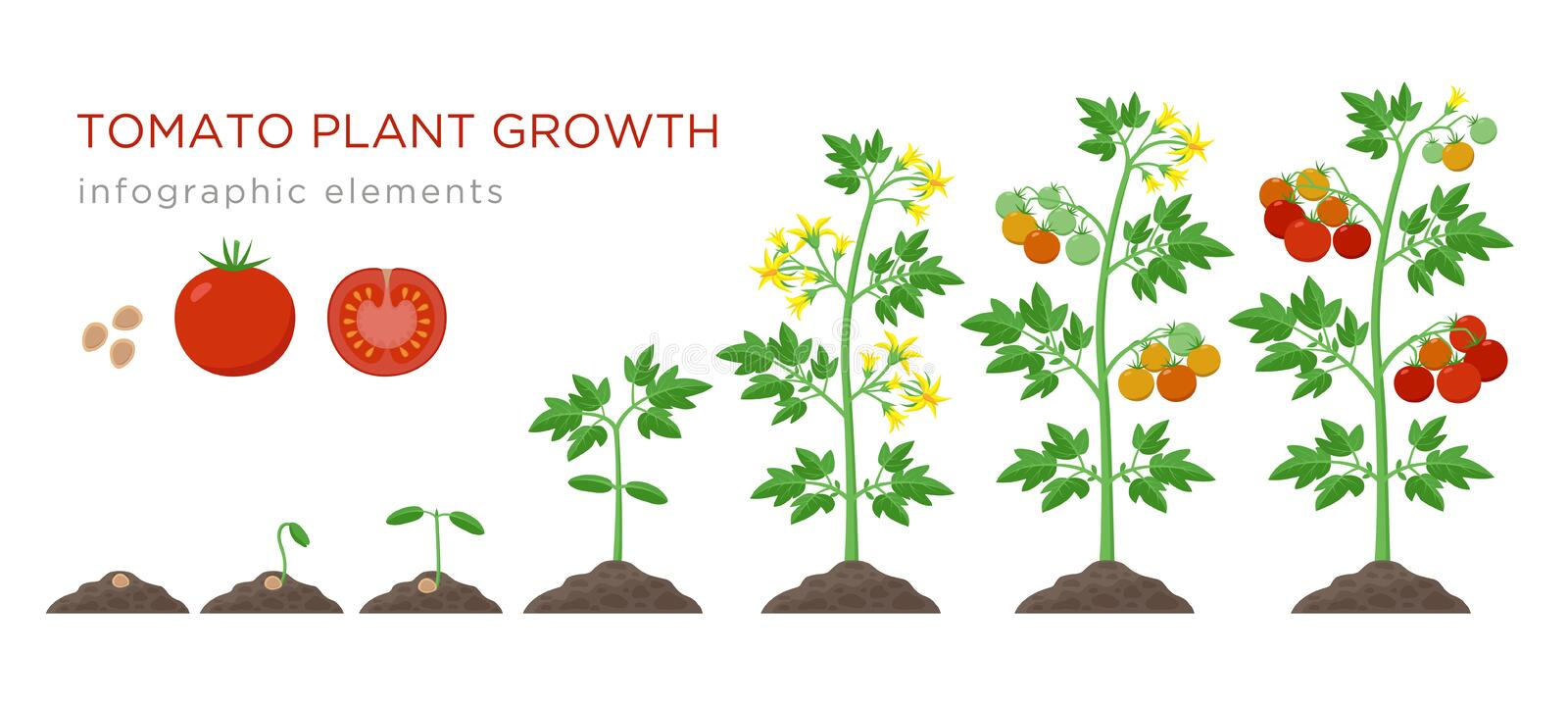 Tomato plant growth stages infographic elements in flat design. Planting process of tomato from seeds sprout to ripe vector illustration
