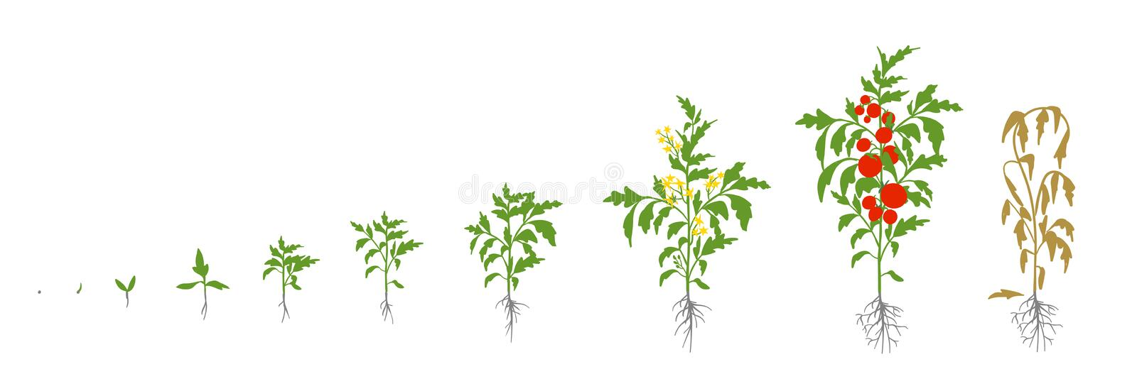 Tomato plant. Growth stages vector illustration. Solanum lycopersicum. Ripening period. From sprout to bush with fruits vector illustration
