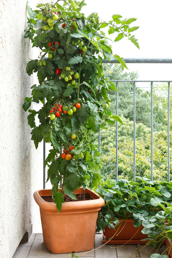 Tomato plant pot balcony strawberry. Tomato plant with green and red tomatoes in a pot and strawberry plants with offshoots on a balcony, urban gardening, copy royalty free stock photo