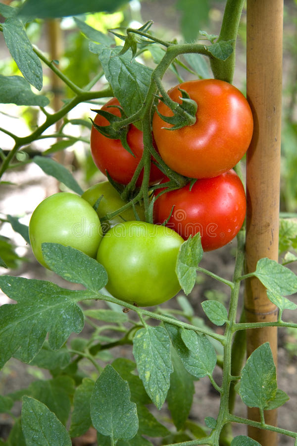 Tomato plant. With red and green tomatoes stock photography