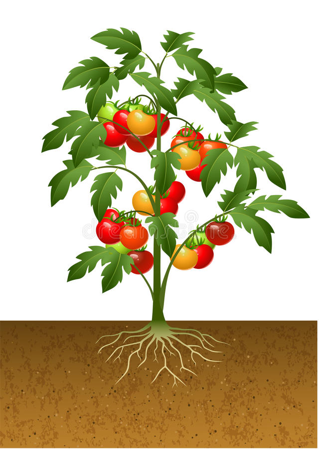 Tomato plant with root under the ground. Illustration of Tomato plant with root under the ground stock illustration