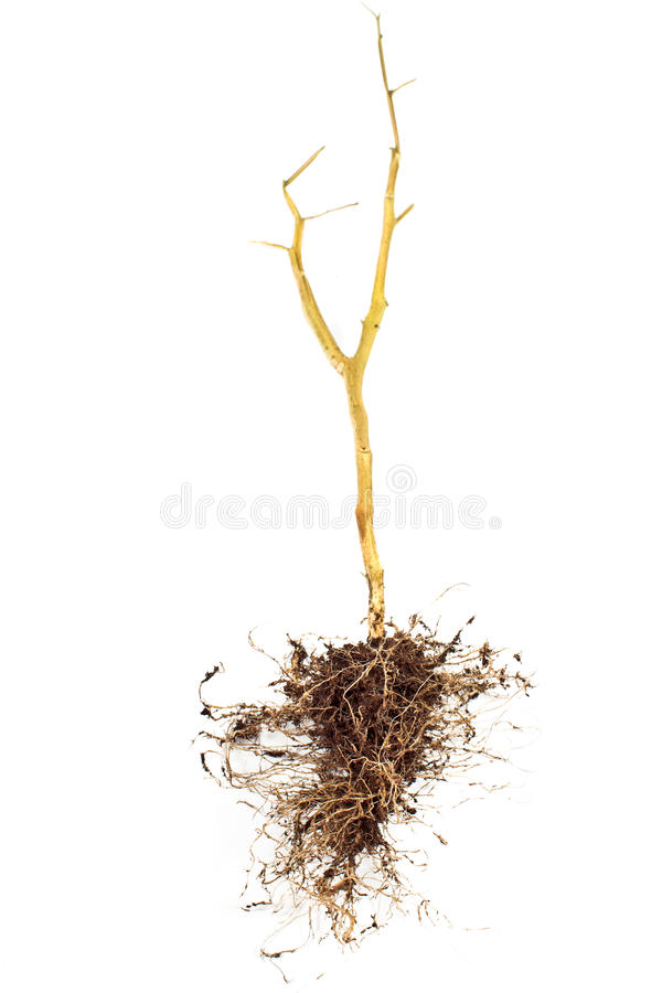 Tomato plant roots. Isolated on white royalty free stock photos