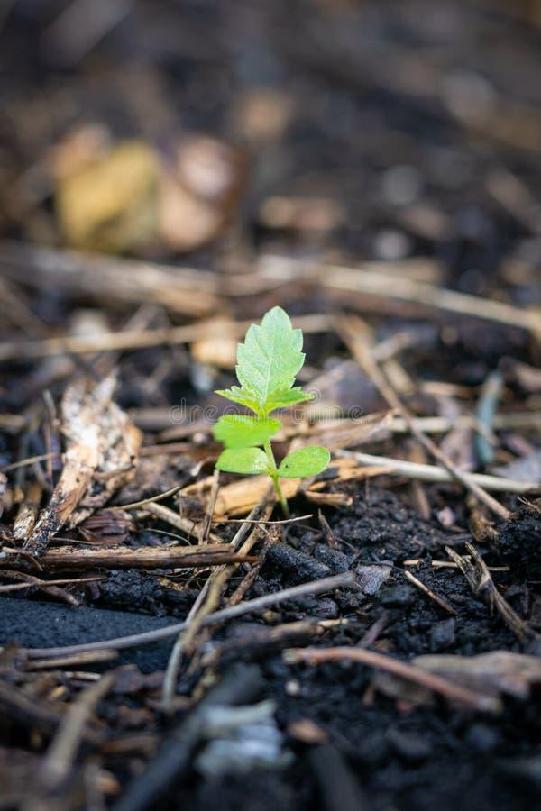 Tomato Plant Sprouting royalty free stock photos