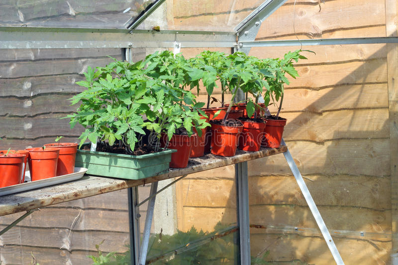 Tomato plant together in a hothouse. royalty free stock image