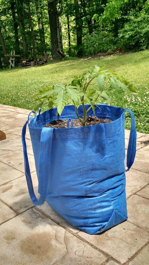 Tomato plant in a tote bag stock image