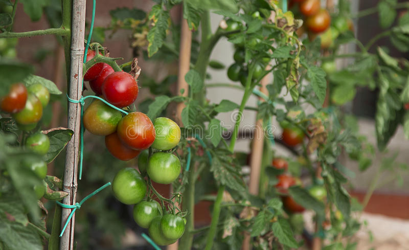 Tomato Plant. Vegetable cultivations: tomato plant, the various stages of maturation stock image