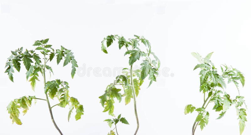 Tomato plant. On white background stock photography