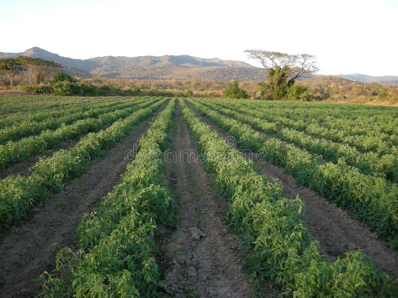 Tomato plantation royalty free stock images