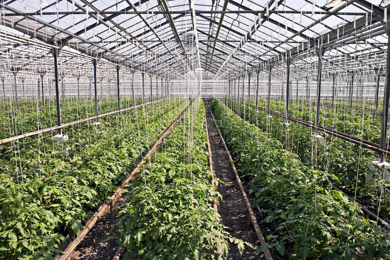 Download Tomato plants stock image. Image of industry, many, vitamins - 10135485