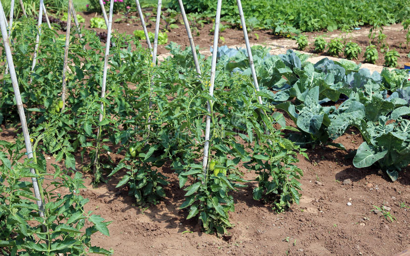 Tomato plants in the garden of farmer stock photography
