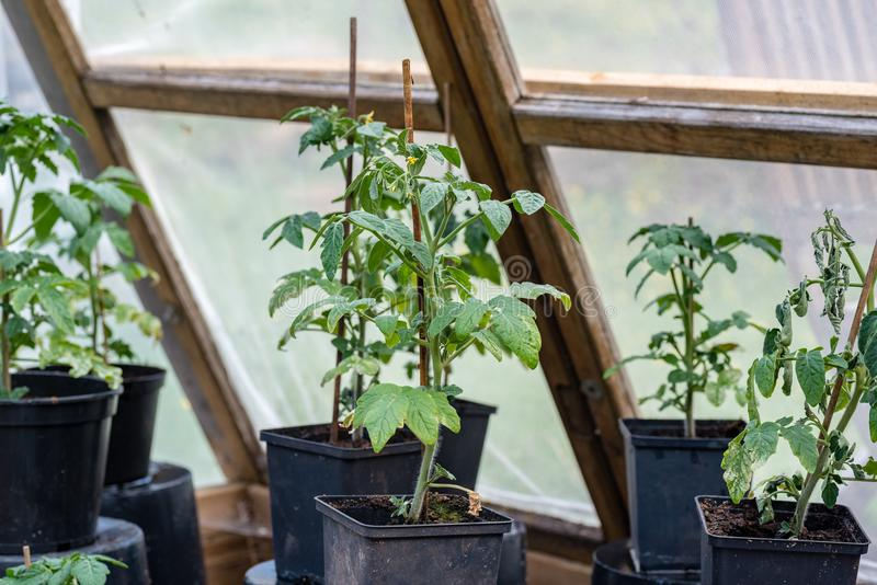 Tomato plants in a green house in a garden stock photos