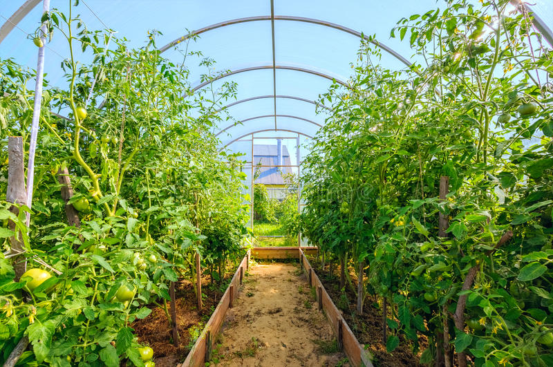 Tomato plants growing in greenhouse at sunny day. High tomato plants growing in greenhouse at sunny day royalty free stock images