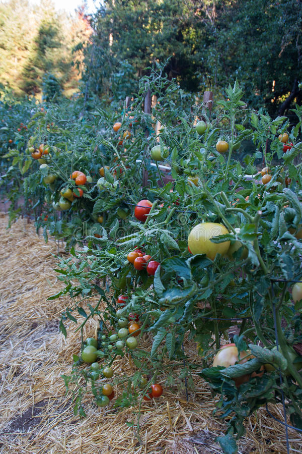 Tomato Plants growing in a home garden. A row of tomato plants, with tomatoes in various stages of ripening, growing in a backyard garden. Mulched with straw to royalty free stock photos