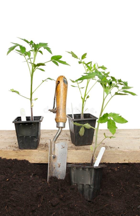 Download Tomato Plants Stock Photo - Image: 41247434