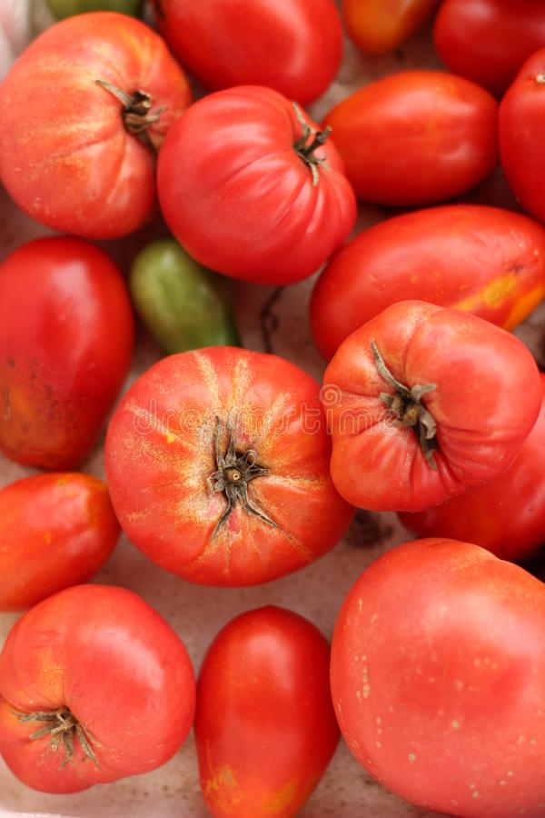 Tomato. Real homemade tomatoes grow in the garden stock image