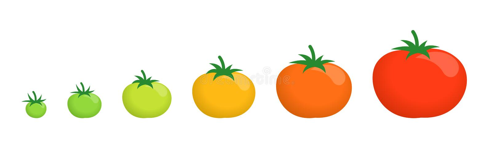 Tomato ripeness stages. Harvesting and ripening tomatoes. Vegetable set plant. How to ripen green tomat. Ripening period. And harvest. Animation development stock illustration