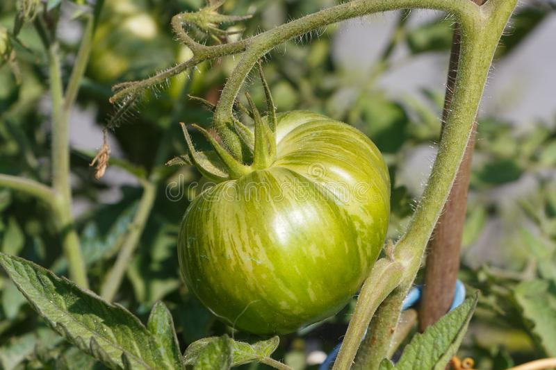 Tomato ripening in a vegetable garden. Green zebra tomato ripening in a vegetable garden during summer stock images