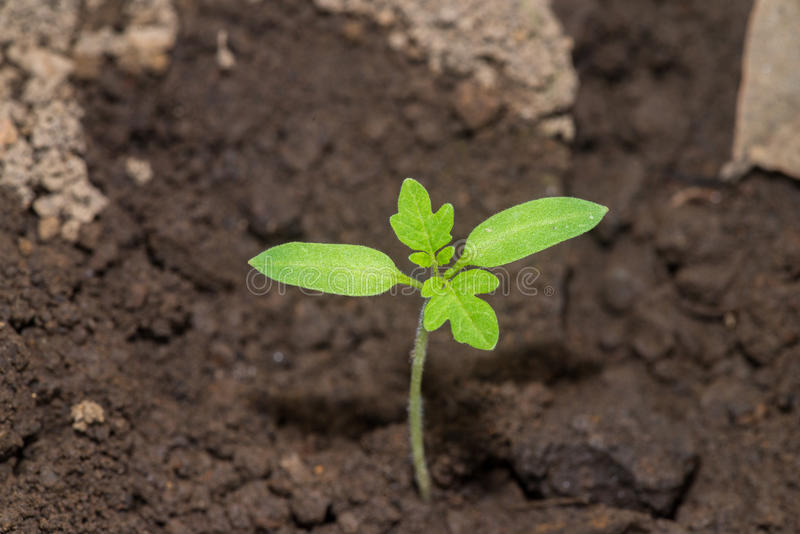 Tomato seed royalty free stock images