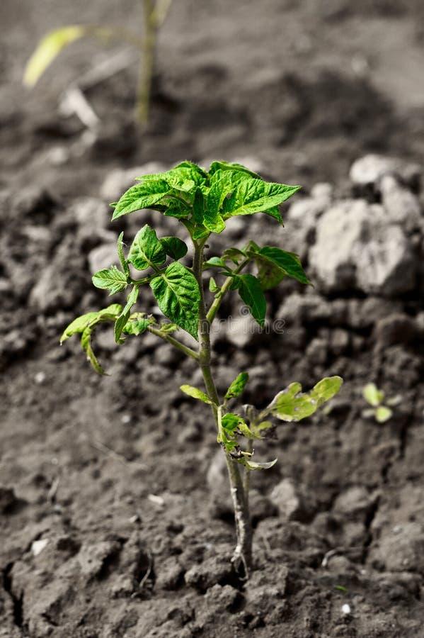 Tomato seedling royalty free stock photo