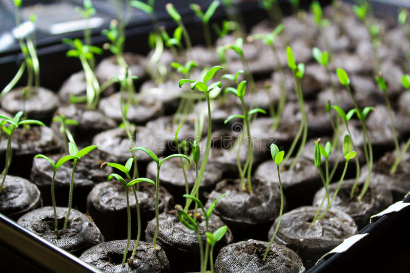 Tomato seedling being started in soil pellets royalty free stock image