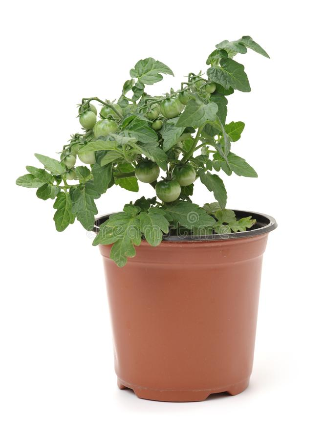 Tomato seedling in a jar royalty free stock photos