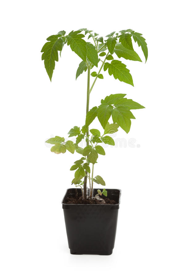 Tomato Seedling Plant. With white background stock photos