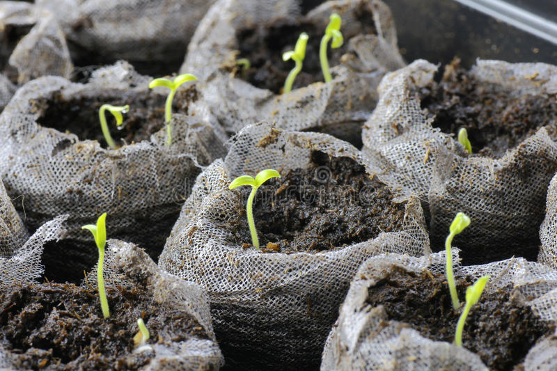 Tomato seedlings stock photos