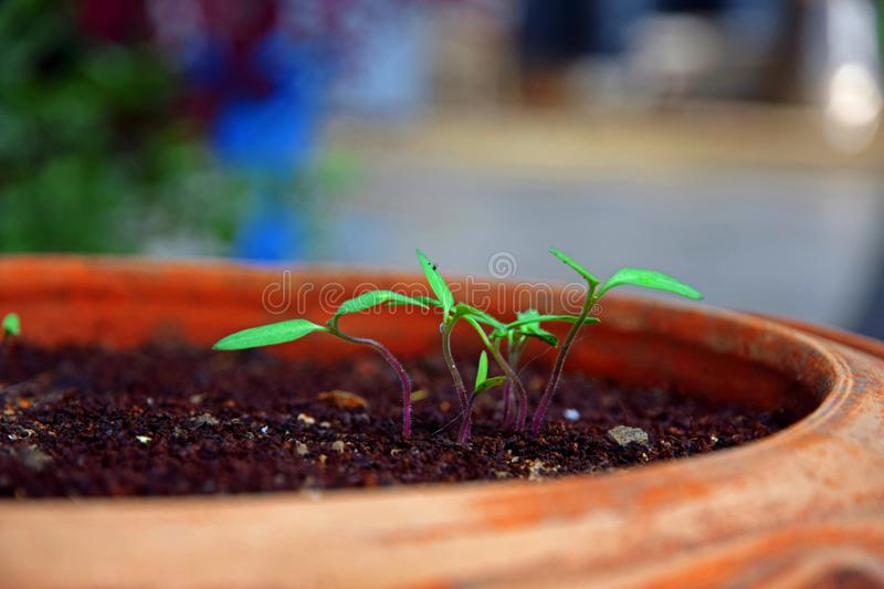 Tomato Seedlings in Pot royalty free stock images