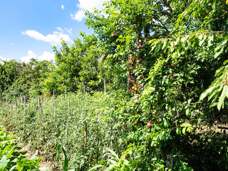tomato and squash bushes and plum trees in garden royalty free stock images