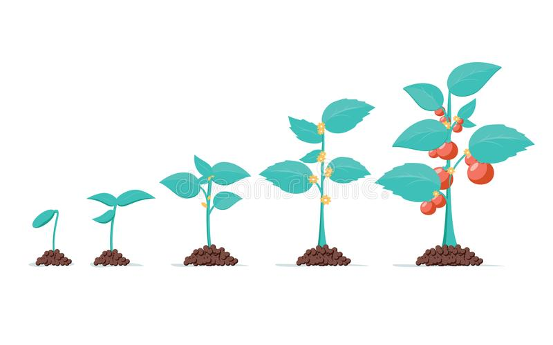 Tomato stage growth. Life cycle of a tomato plant, leaf, flower and fruiting stages. Vector flat style vector illustration