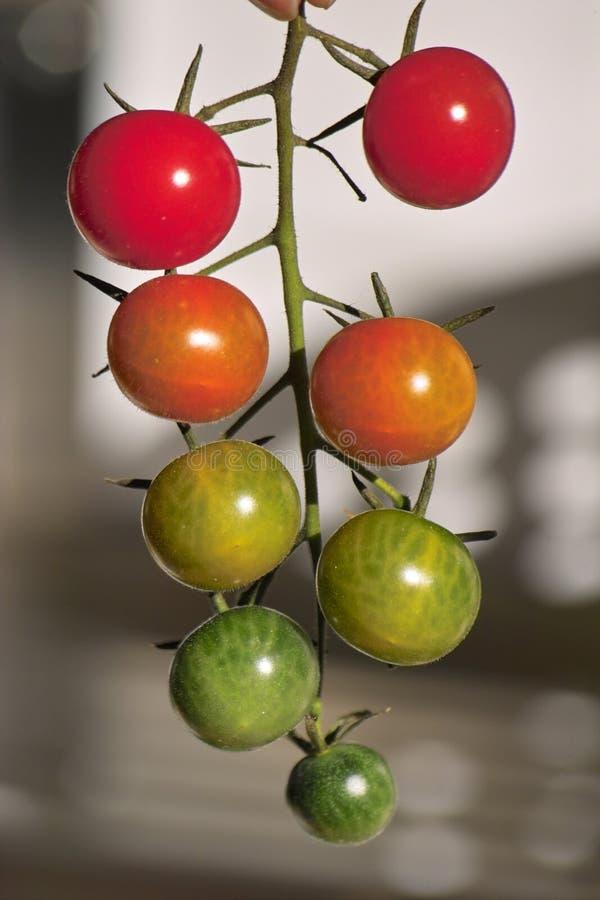 Tomato - Tomatenstrauch als Ampel. A picture of a tomato bush (shrub Tomato) in light colors stock photo