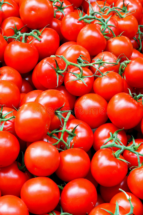 Tomato with vine royalty free stock photography