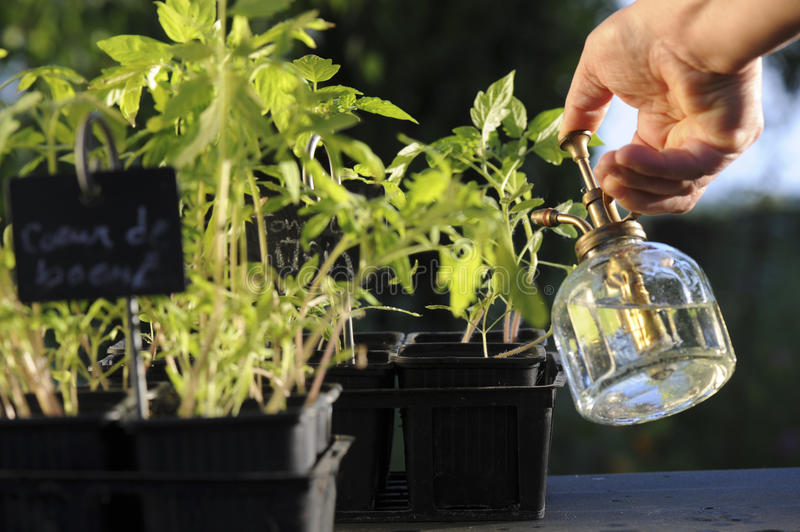 Tomato watering semi. Watering semi tomato in their pot with a spray royalty free stock photos