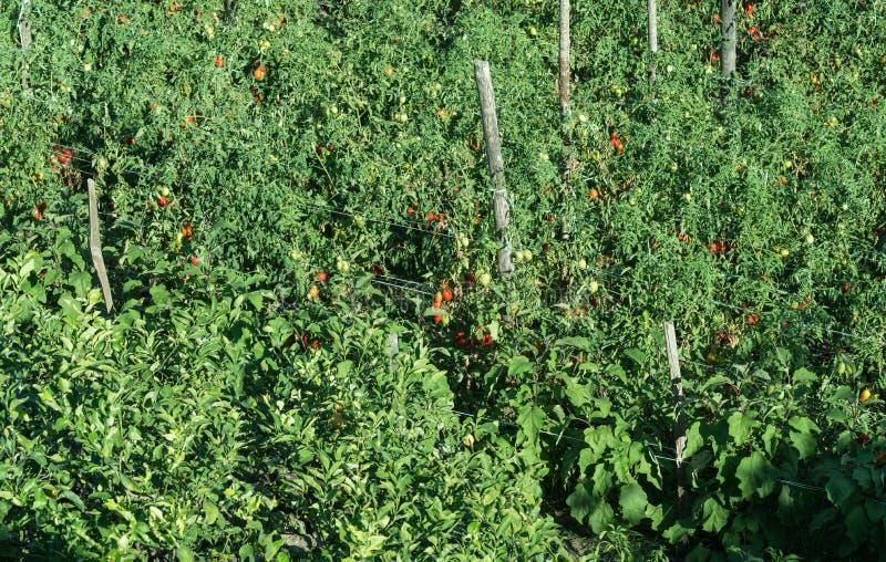 Tomatodling arkivbilder