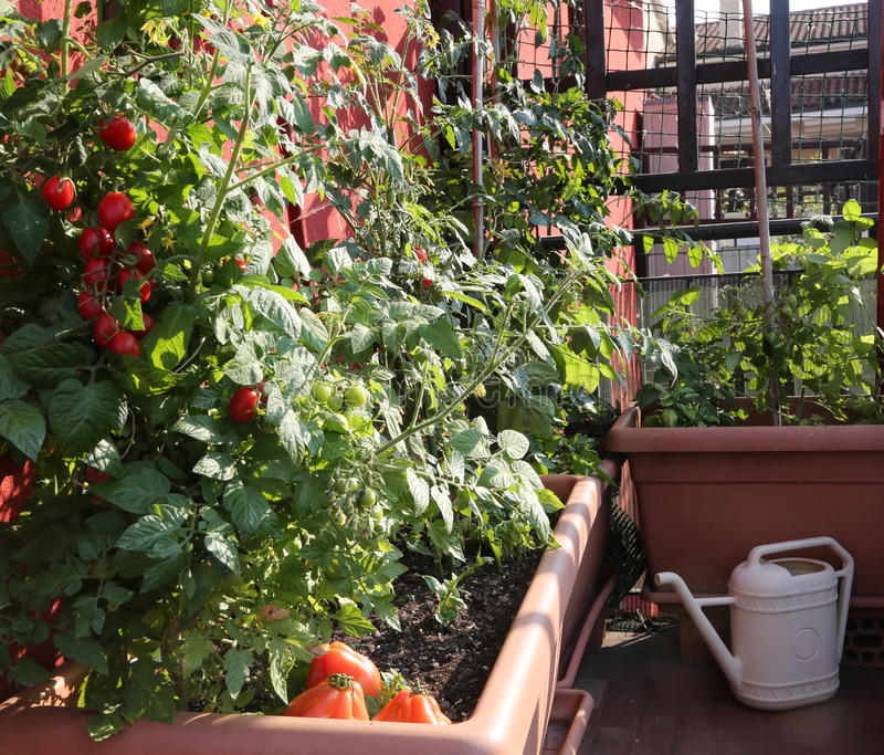 Tomatodling i vaserna av en stads- trädgård på terracen arkivbilder