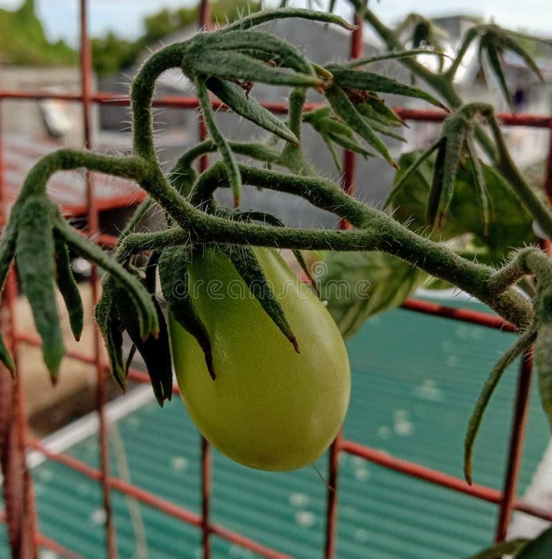 Tomatoe fotografia stock