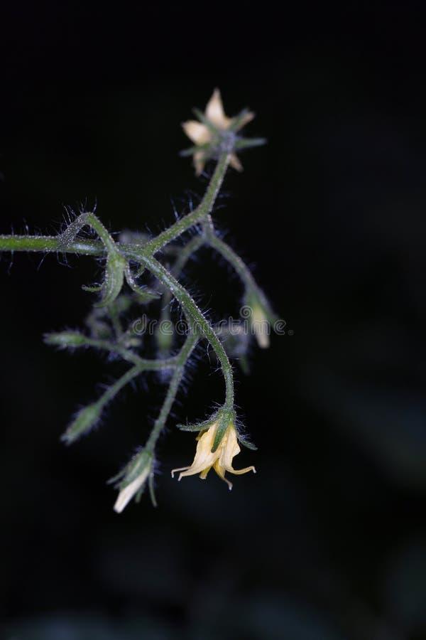 Download Tomatoe Flowers At Night Stock Image - Image: 25642831