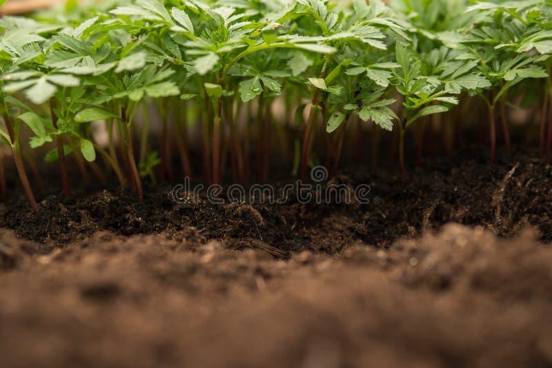Tomatoe plantor arkivbilder