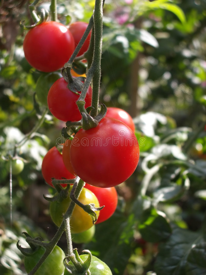 Download Tomatoes stock photo. Image of green, background, petals - 1354026