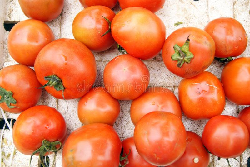 Download Tomatoes stock image. Image of food, rural, drip, field - 18553769