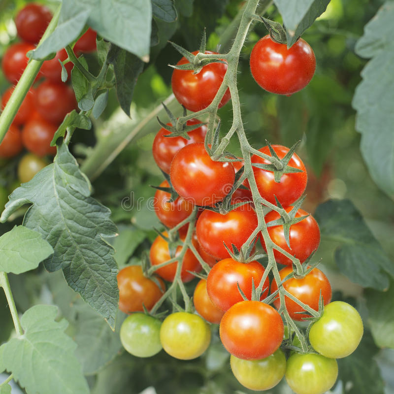 Download Tomatoes stock image. Image of tomatoes, nobody, vine - 19797903