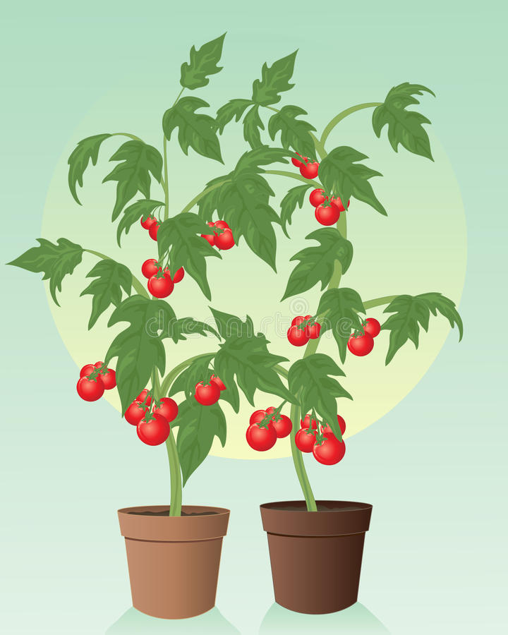 Download Tomatoes stock vector. Illustration of cultivation, summer - 25659269