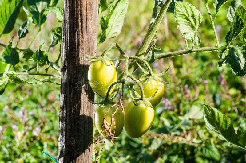 Download Tomatoes stock image. Image of agriculture, health, colours - 28851695