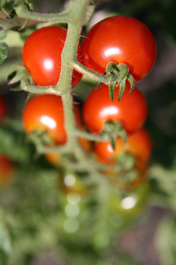 The tomatoes royalty free stock image