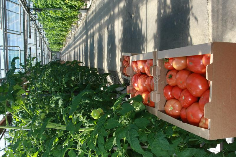 Download Tomatoes stock image. Image of central, production, vegetables - 8554153