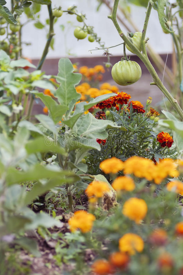 Free Tomatoes And Marigolds (companion Planting) Royalty Free Stock Photos - 21131988